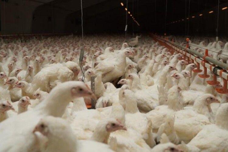 В Україні утримують 200 мільйонів курей, гусей, качок та іншої птиці