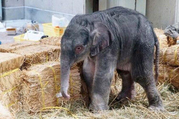 Вперше за 138 років у Токійському зоопарку народилося слоненя