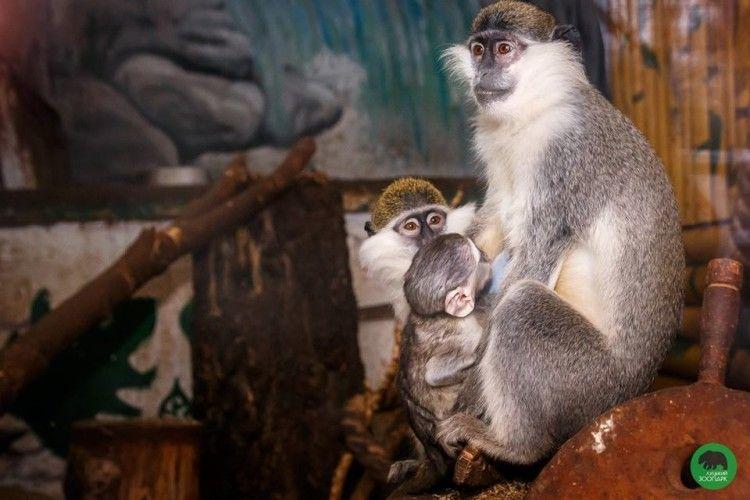 У Луцькому зоопарку народилося зелене мавпеня