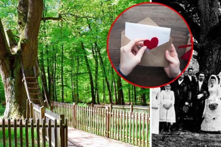 Понад сто пар «одружив»… 500-річний дуб (Фото)