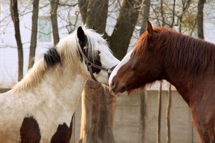 У Рівному шукають людей, які до безтями люблять коней
