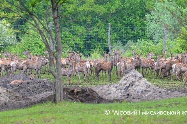 В Україні побільшало оленів. Європейських