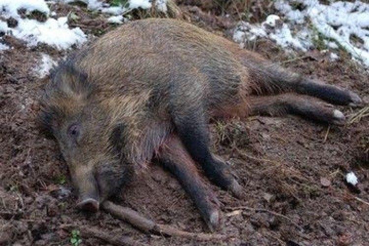 На Волині знайшли тіло дикого кабана із африканською чумою