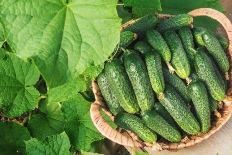 В Україні рекордно подешевшали огірки