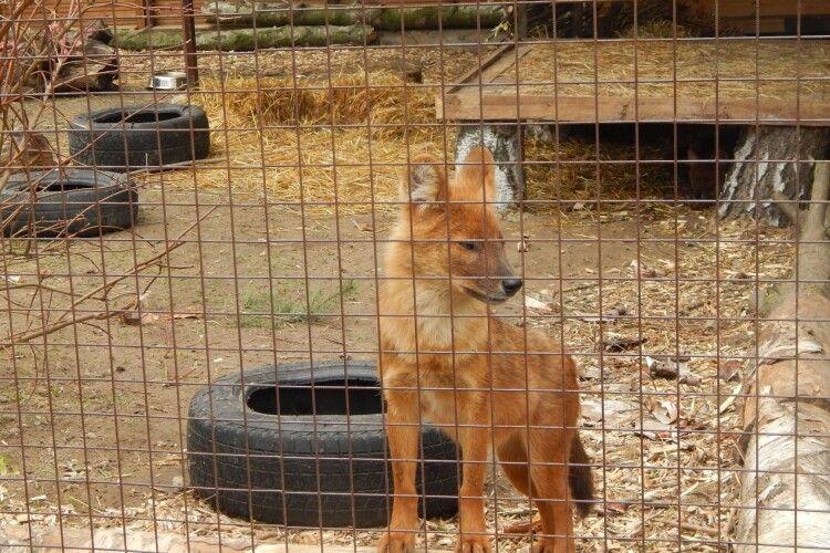 У Луцьку завелися червоні вовки