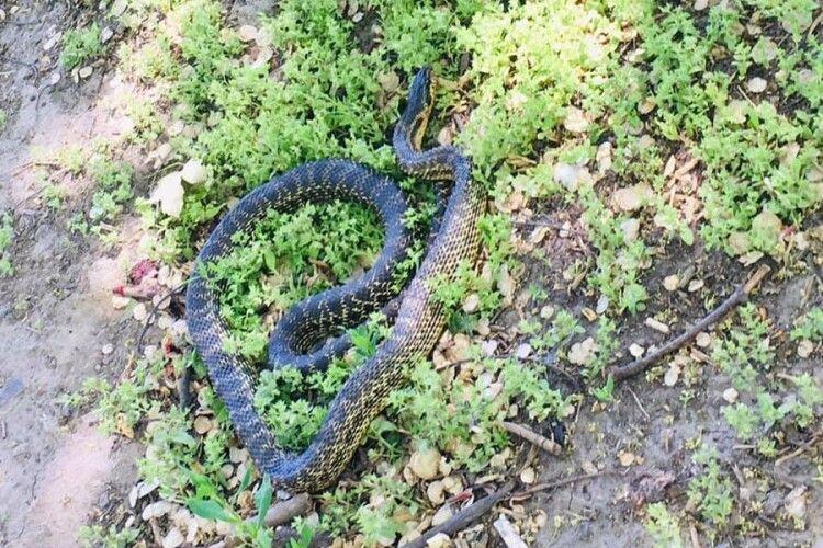 Зловили змію, яка кидалася на людей