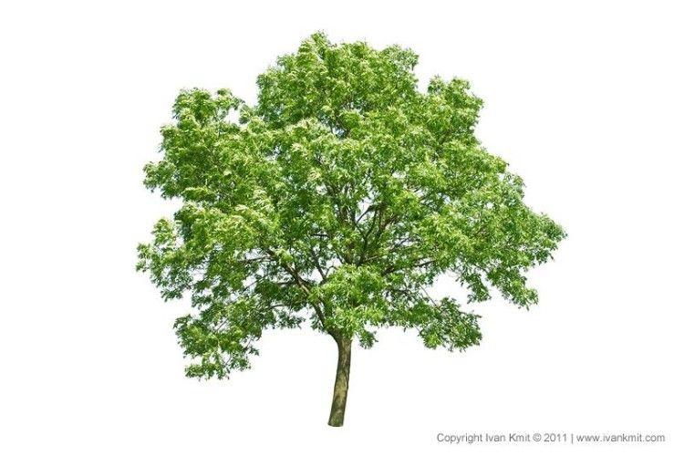 Догляд за короною овочевих дерев