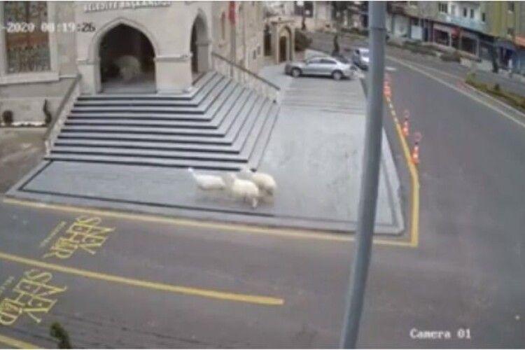 Вівці, кози і баран атакували будівлю мерії у Туреччині: відео «штурму»