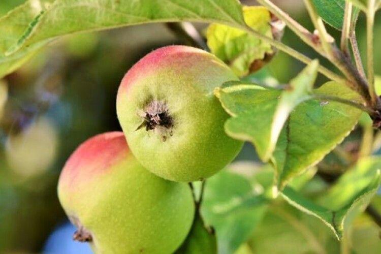 В Україні розперезалися яблуневі квіткоїди, букарки, казарки та інші довгоносики