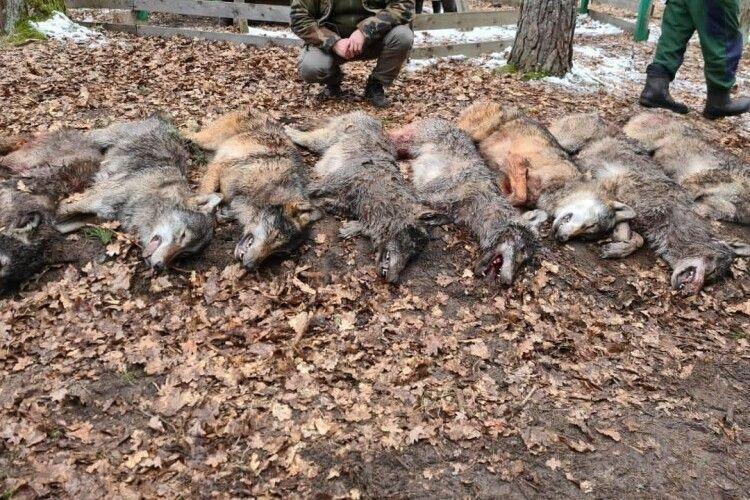 На Волині застрелили 12 вовків, які хотіли напасти на людину