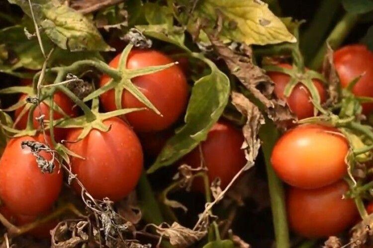 На Волині тестують американські гібриди помідорів