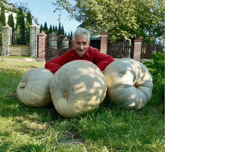 Рівнянин показав свої велетенські гарбузи (фотофакт)
