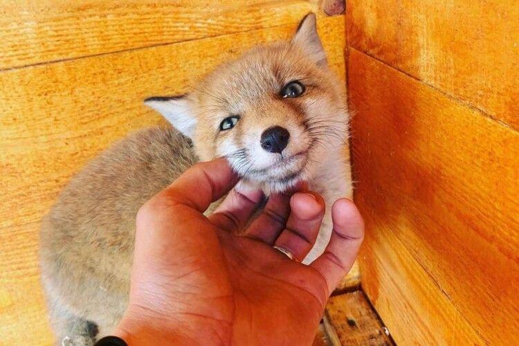 Мешканець Сарн завів собі лиса Микиту (Фото, відео)