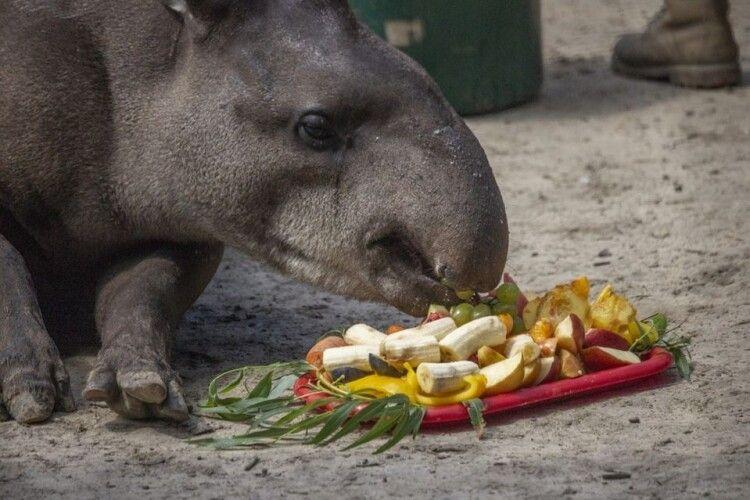 Рівненська тапіриха Майя відзначила Всесвітній день тапіра