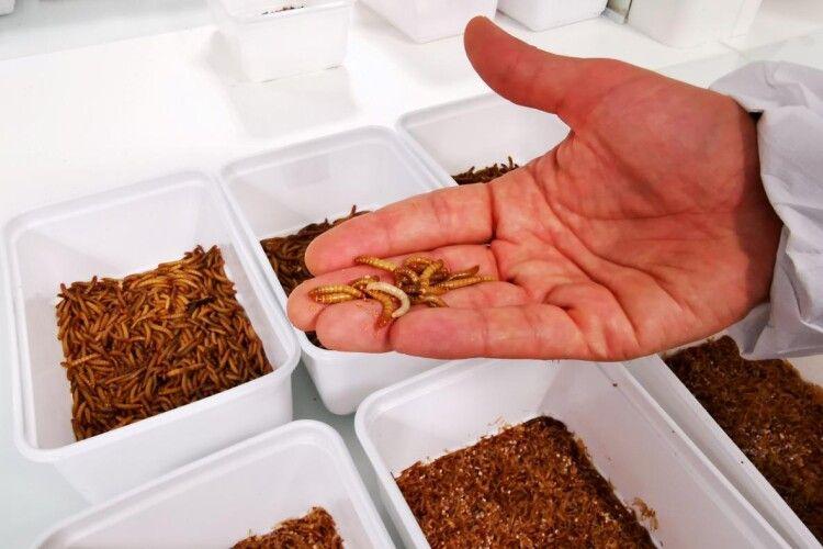Євросоюз дозволив вживати в їжу сушених борошняних черв'яків