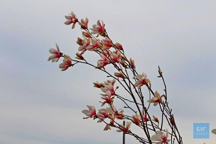 У парку волинського міста розквітли магнолії (Фото)