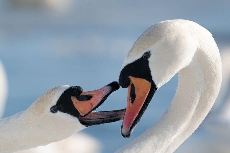 «Весна іде, красу несе...»: в українських лебедів почалися шлюбні ігрища (Фото)