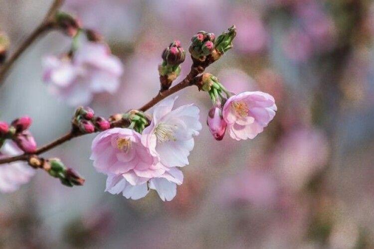 На Херсонщині зацвіли абрикоси
