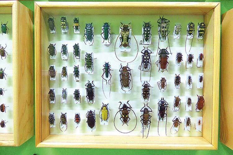 Наврядчиекзотичні жуки зусього світу знали, щостануть окрасою колекції турійчанина.