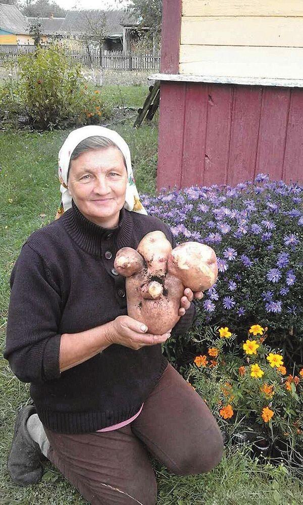 Найбільша в Україні картоплина виросла самосівом  із морквою в Надії Іщук у селі Пехи Шацького району Волині.