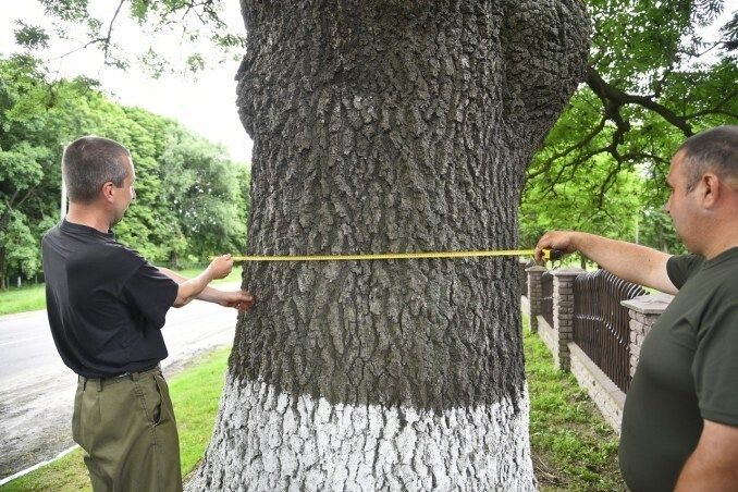 Лісівники ретельно виміряли розміри старих дерев.