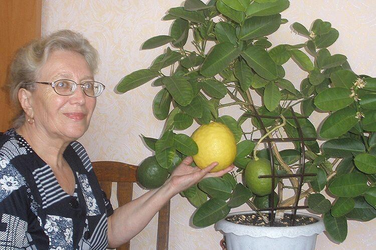 Лимон вагою 800 грамів виплекала у квартирі лучанка Надія Колядюк.