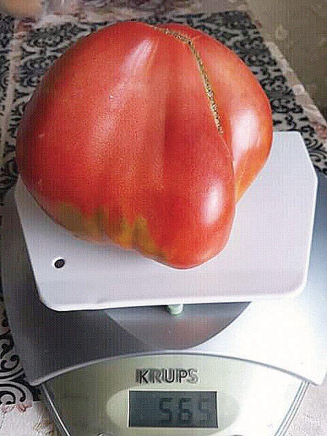 Навіть у несприятливий для городини рік  виростають ось такі томати.