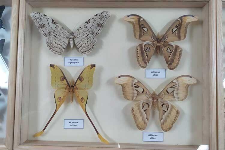 Це метелики тропічні, але є вколекції й українські.