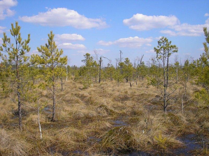 На таких болотах росте реліктова рідкісна рослина шейхцерія, що стала символом Черемського заповідника, – саме завдяки цьому червонокнижному виду він був створений.
