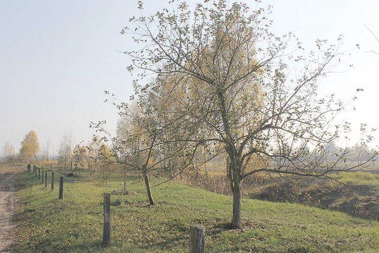 Тішать господарів рівні рядки дерев, що тягнуться гілками до сонця.