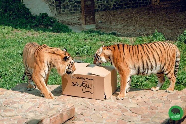 М'ясо та яйця 4-річні тигри Тамерлан та Аїда шукали у коробках.