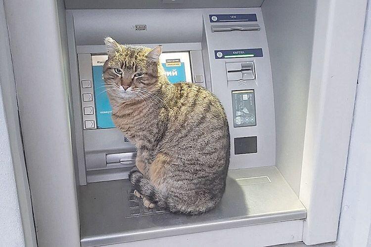 Цей кіт «охороняє» банкомат  ідовіряє людям.
