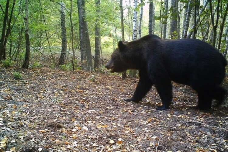 Ведмідьзабрід чималий: метр у холці!