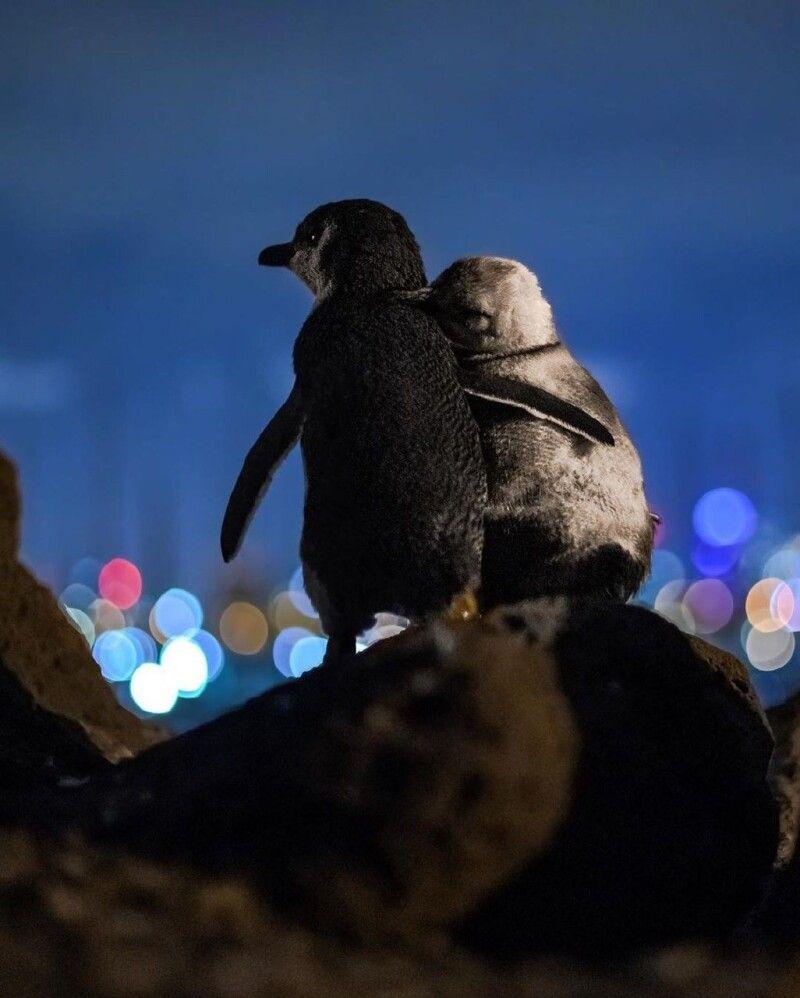 Поки інші пінгвіни спали чи бігали навколо, ці двоє просто стояли і насолоджувалися кожною секундою разом.