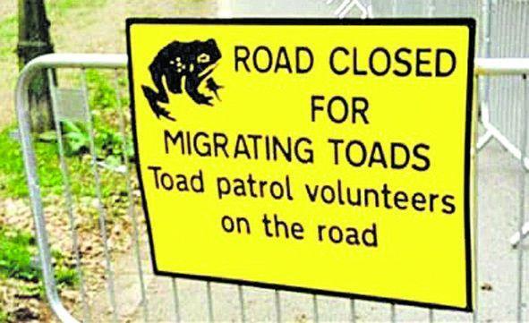 Лондонські волонтери перекрили дорогу через міграцію жаб,   ніхто не заперечив...