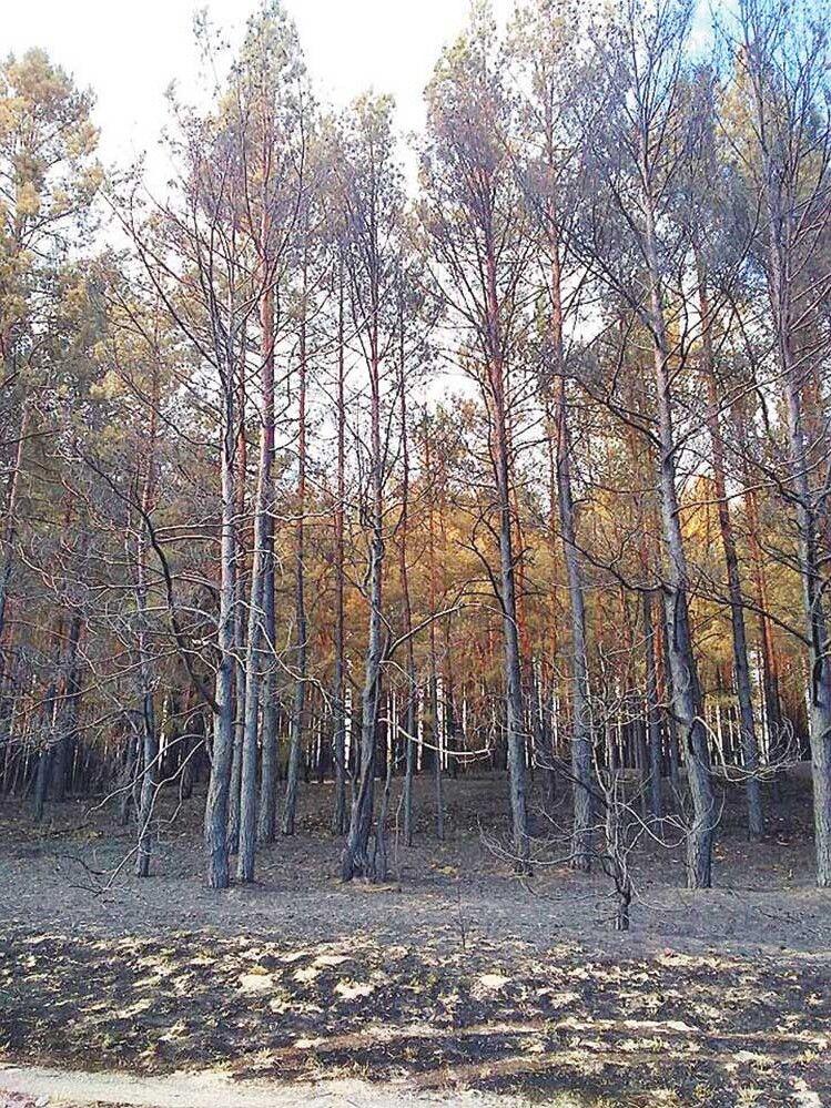 Цей ліс навряд чи вже відновиться...