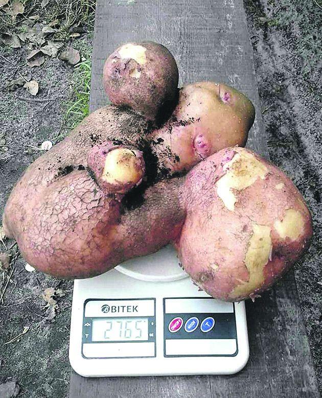 Щойно викопаний і неочищений від торфу овоч.