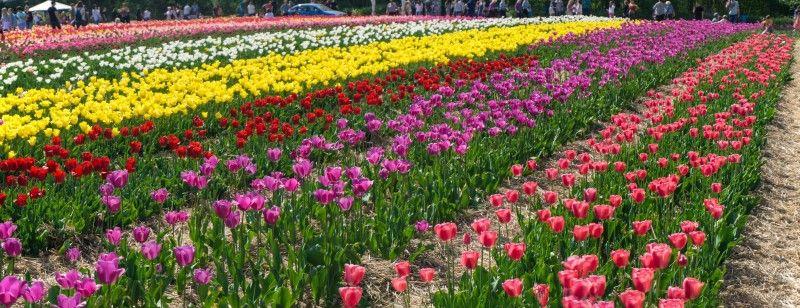 Наступного року тюльпанове поле планують збільшити ще на 1 гектар.