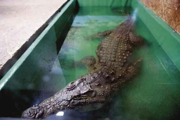 Найбільший крокодил на фермі зветься Геля.