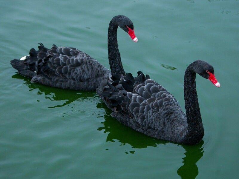 Вперше чорних лебедів побачила голландська експедиція, яку очолював Віллем Вламінк, у Західній Австралії. Фото azovzoo.com.