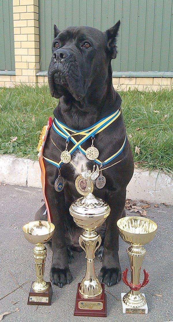 Урса має багато кубків і медалей та звання найкращої собаки Луцька 2012 і 2013 років.