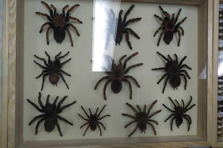 Павукиптахоїди викликають чи не найбільше захоплень.