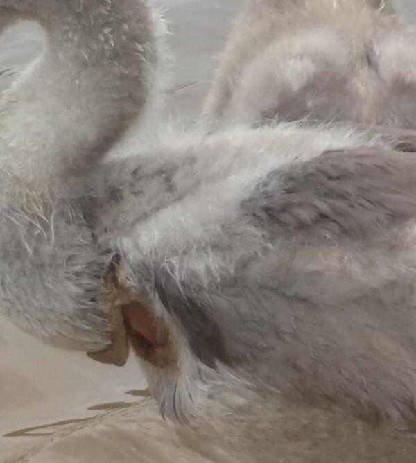 У пташеняти був глибокий поріз на грудях.