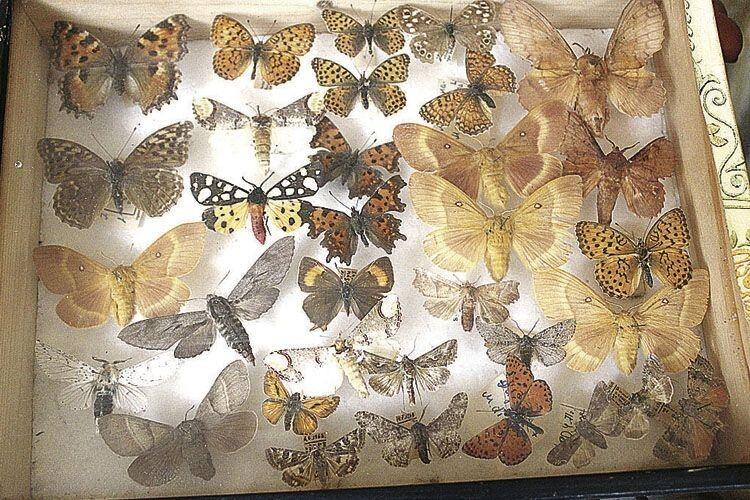 Кожного метелика з цієї колекції потрібно було дослідити, розправити йому крила та пришпилити булавкою до пінопласту.