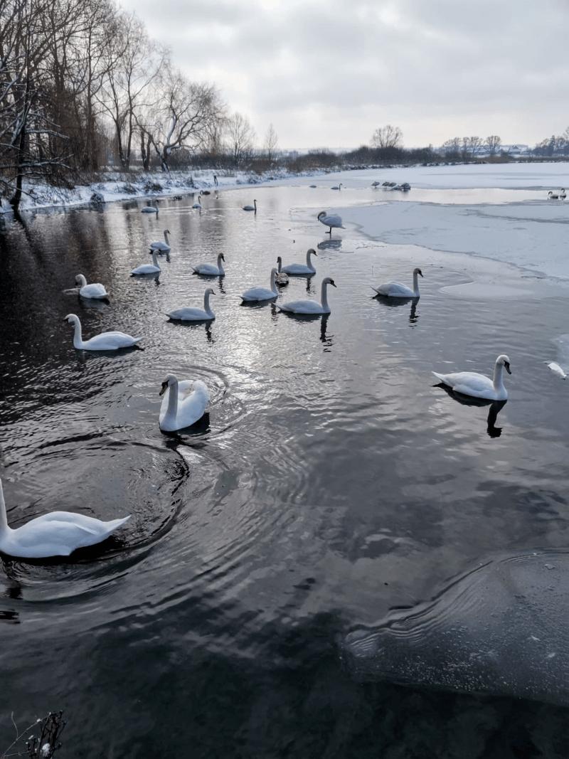 Лебеді плавали і стояли на кризі. Їх було понад два десятки.