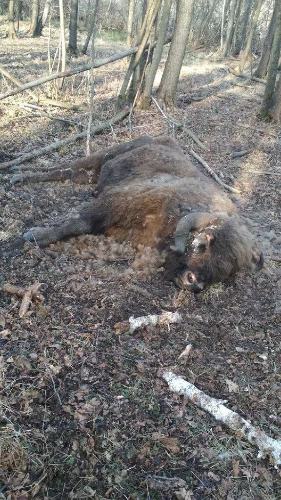 Від чого загинула червонокнижна тварина – поки не відомо.