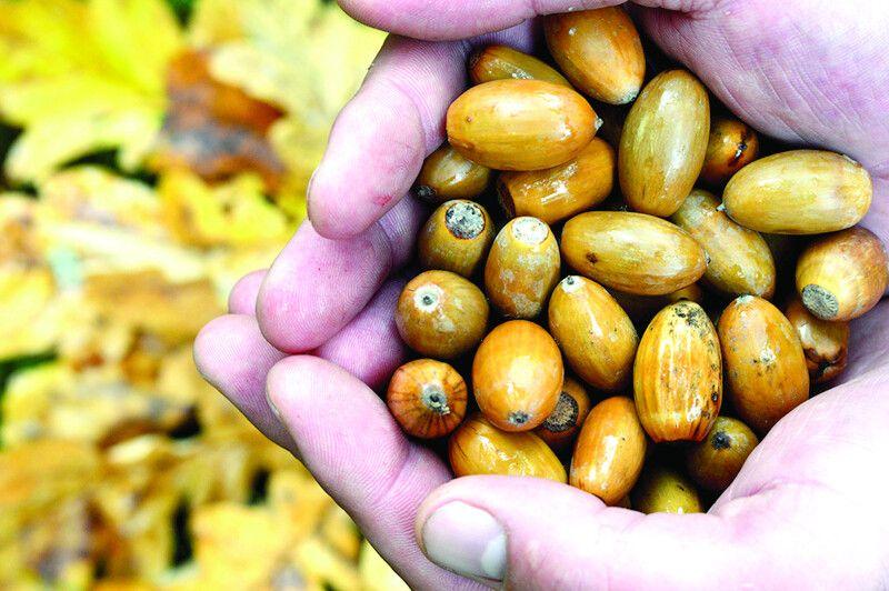 Заготівля насіння— початок роботи злісовідновлення, що триває десятиліття.
