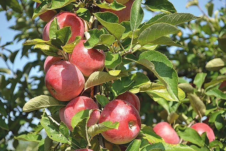 Такими плодами може гордитися кожен господар.
